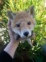 Baby Red Fox Softmount SOLD by DeerfishTaxidermy