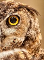 Great Horned Owl by Bright-Spot-Photo