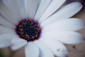 Daisy Flower 1 .. by The-Golden-Princess