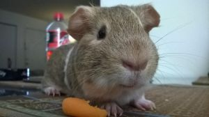 c,ool picture of ym guinea pig by diphen