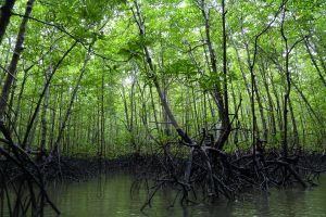 The Mangrove by Kenchee