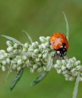 ladybird 6 by Thereska