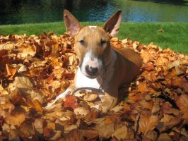 Bull Terrier in Fall by Shiskababe