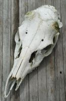 deer skull by Ivixx
