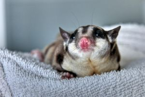 Mauro the Sugar Glider - HDR by alexdg