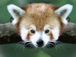red Panda by onemanwolfpack123
