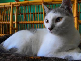 Mika- now as a young lady cat by floramelitensis