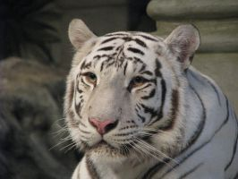 White Tiger Close Up by Clash-With-Reality