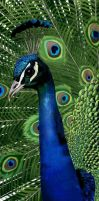 Peacock - zoo project by Deansta