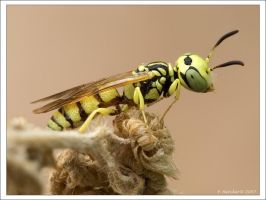 Tiny Yellow Wasp      Aug 5 07 by Hatch1921