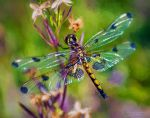 Dragonfly on Flower by eccoarts
