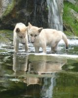 Wolfpups in a pond by RonTheWolf