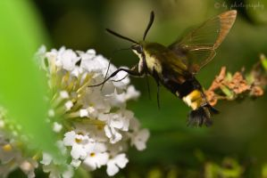 Hummingbird Moth 4536 by DG-Photo