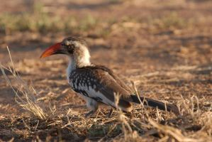 Red-billed Hornbill by andabata