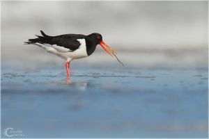 Oystercatcher by ClaudeG