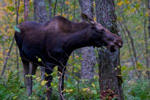 Moose - Female by LInconnu24