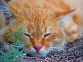 Cat sleeps by Anna-Belash