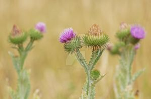 thistle time... by clochartist-photo