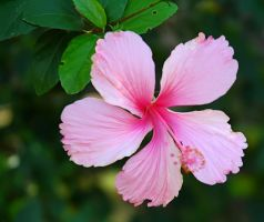 Hibiscus VIII by nordfold