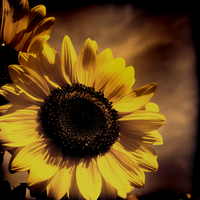 sunflower by SsGirlo