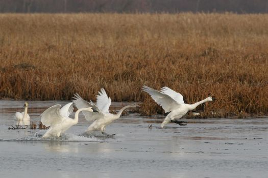 Tundra Swan  Contact by DGAnder