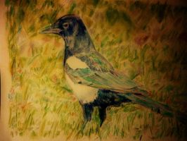 King of the Lawn. Magpie by 80sdisco