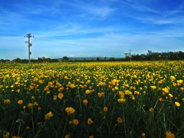 Field of Buttercups by Teakster