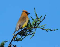 Cedar Waxwing by natureguy
