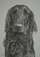 Commission - Flatcoated Retriever 'Barnaby' by Captured-In-Pencil