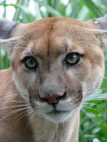Florida Panther by orcafreedom1