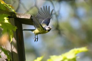 Blue Tit by sampok