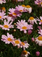 Unknown Pink Flower 01 by botanystock