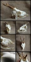 Roe Deer Skull #2 by CabinetCuriosities