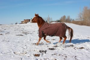Blanketed horse trotting through snow 3 by eluhfunt-stock