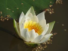 Water lily 3 by Temansha