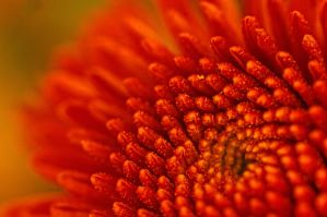 Red Flower Macro 2 by Cable36wu
