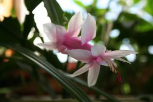 Schlumbergera bridgesii by entropy462