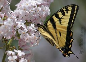 Canadian Tiger Swallowtail by joanniegoulet