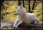 wolf: enjoy autumn by morho