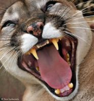 cougar encounter by Yair-Leibovich