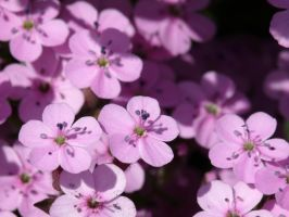 Little pink flowers 2 by Mad-Popietro
