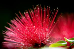 Redish Pink-like Flower by DARRYL-SMITH