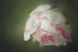 Rose by JunnyPhotography