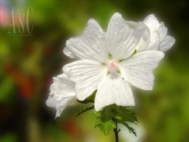 Perfect White Mallow by Pentacle5