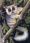 South African Bushbaby by WillemSvdMerwe