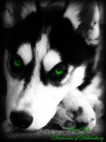 Green eyed husky by demonicus-nymphus