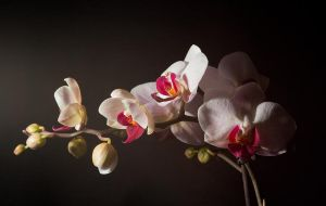 Orchid Glow by adambrowning