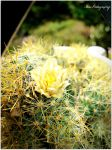 My Blooming Cactus by Steve-the-cutie
