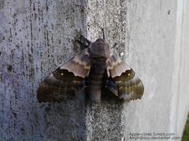 Modest Sphinx Moth 1 by Amphibizzy