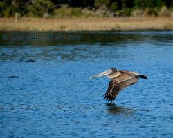 Pelican by gls15